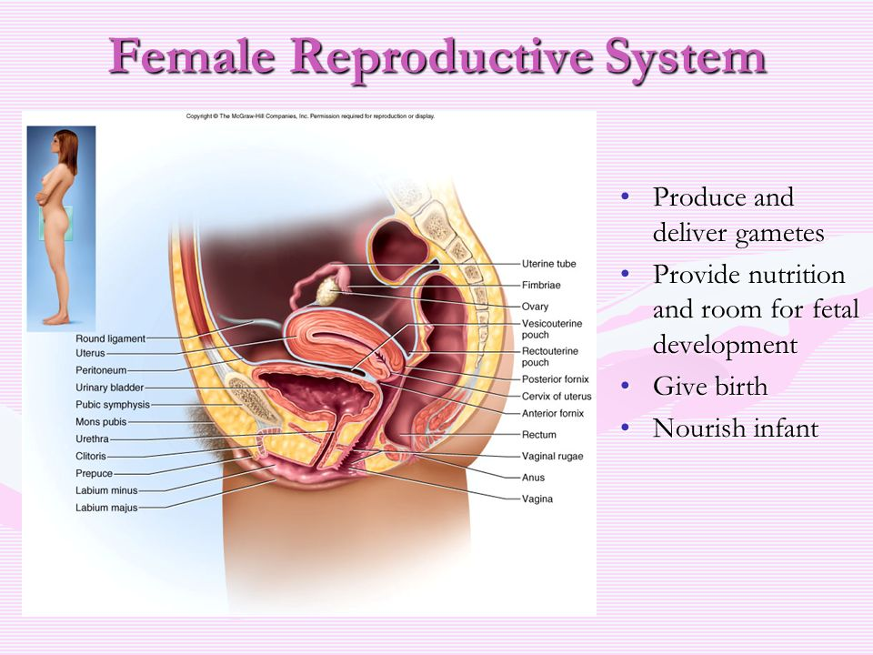 The female reproductive system jen tynes selu ppt download female reproductive system ccuart Images