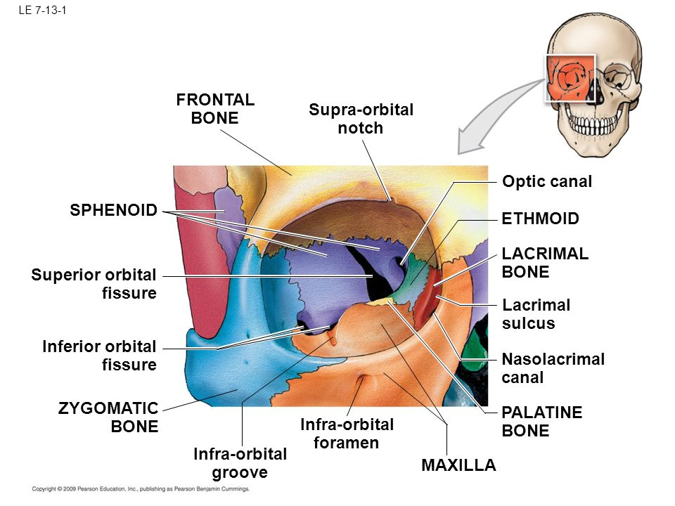 Lacrimal Canal Skull