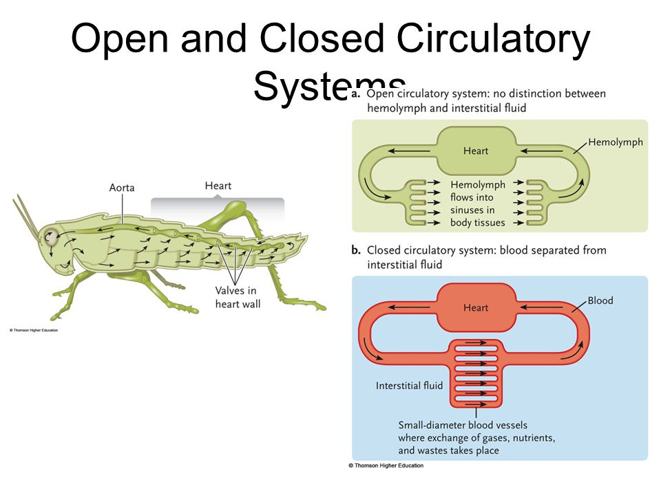 Chapter 42 circulatory system ppt video online download 6 open and closed circulatory systems ccuart Gallery