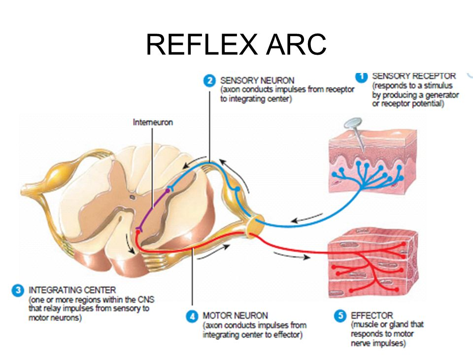 Reflex ppt video online download 15 reflex arc ccuart Gallery