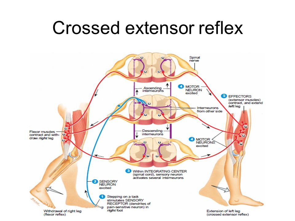 Flexion reflex arc diagram circuit connection diagram reflex ppt video online download rh slideplayer com explain the reflex arc reflex arc diagram labeled ccuart Image collections