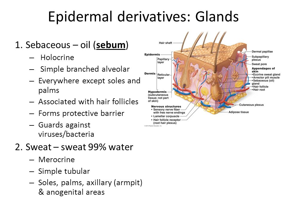 what are epidermal derivatives