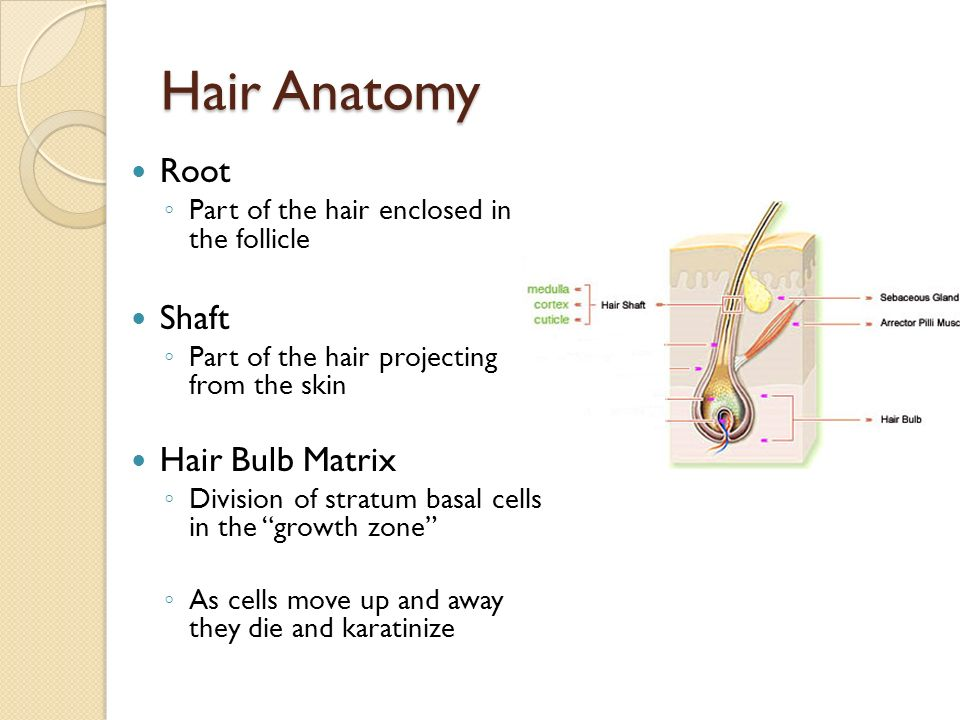 Attractive Hair Shaft Anatomy Composition - Anatomy And Physiology ...