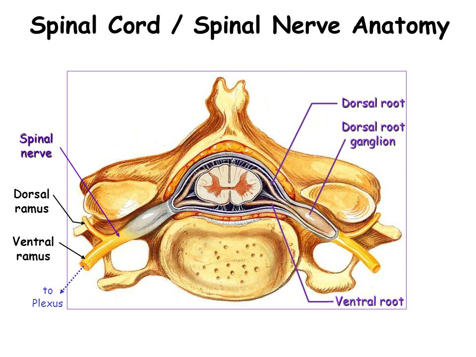 Week 11 The Spinal Cord. - ppt video online download