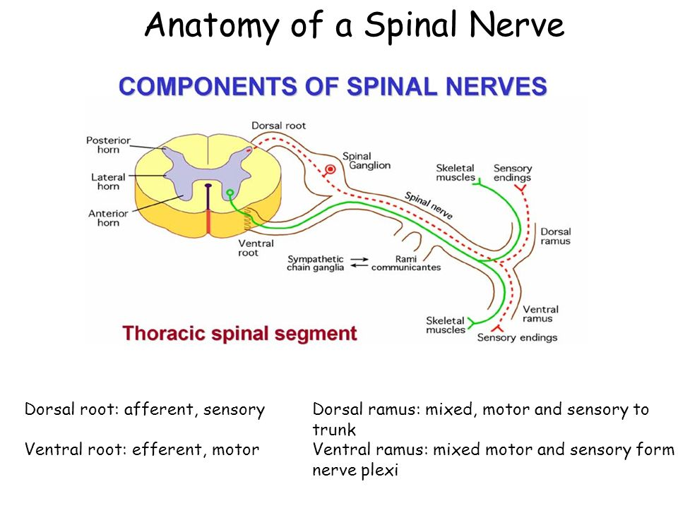 Week 11 The Spinal Cord Ppt Video Online Download