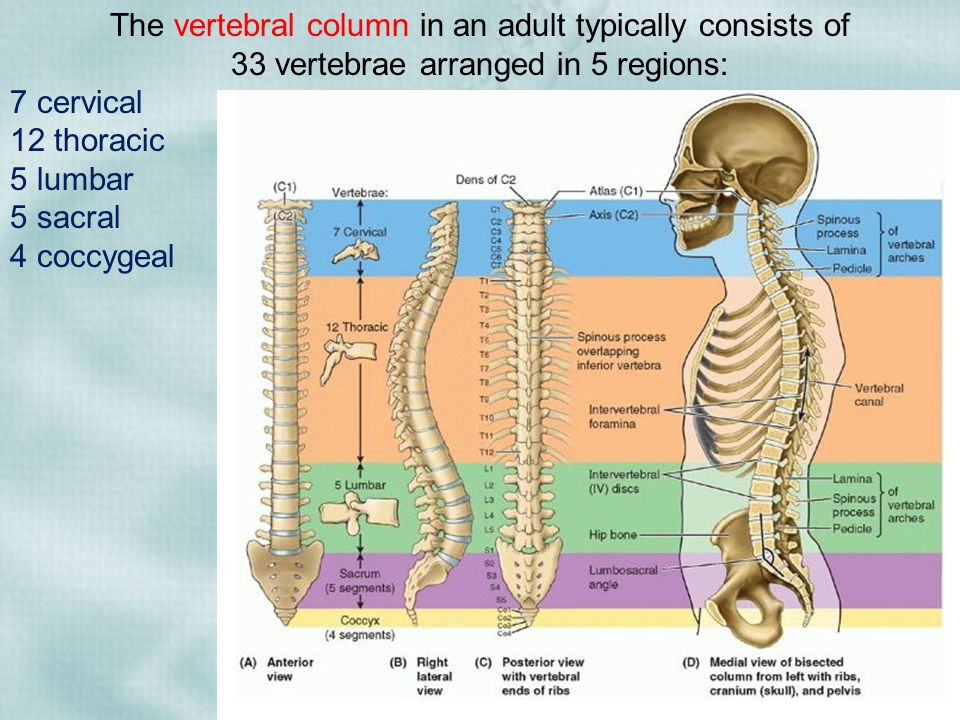 Vertebral Column Ribs Sternum Ppt Download