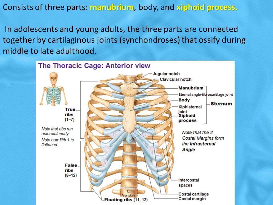 Vertebral Column Ribs Sternum Ppt Download Xiphisternal joint, xiphisternal symphysis, xiphisternal synchondrosis. vertebral column ribs sternum ppt
