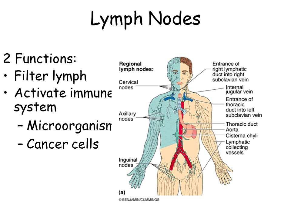Lymphatic System. - ppt video online download