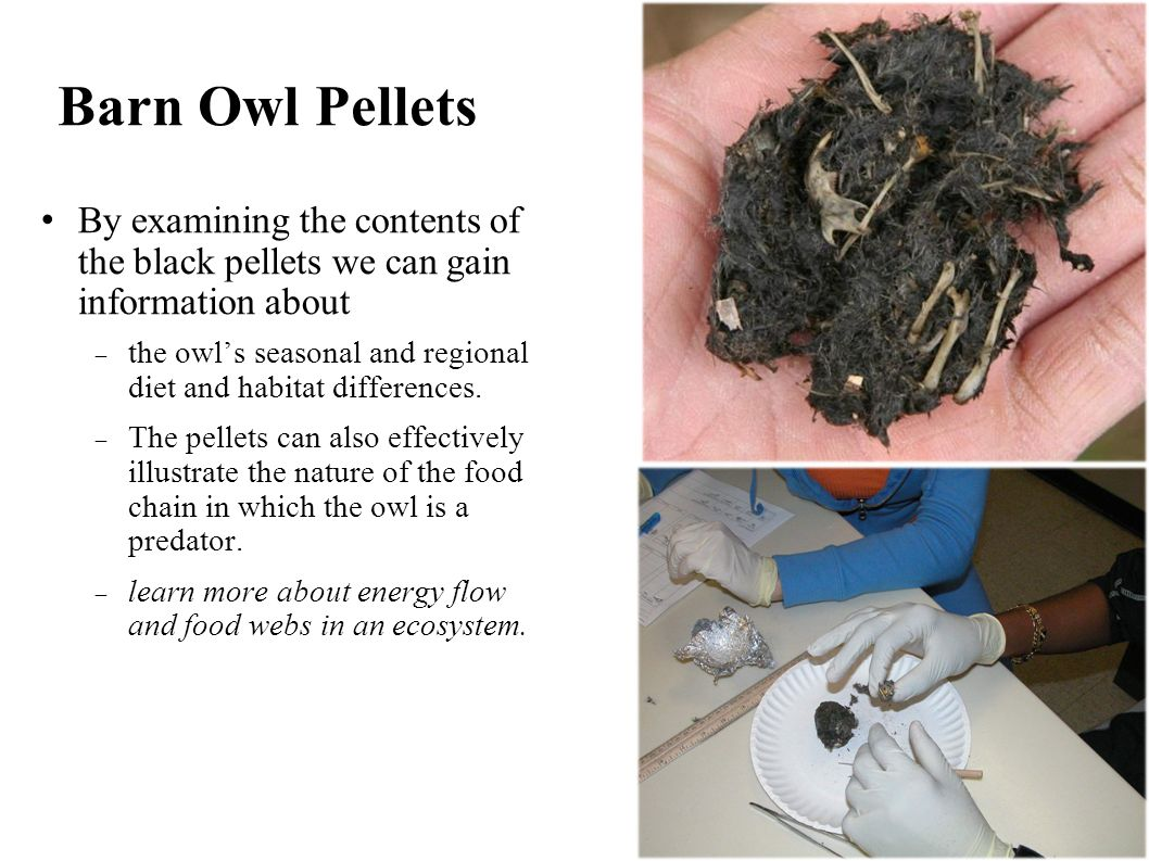 Using Owl Pellets to Illustrate Energy Transfer from Prey to