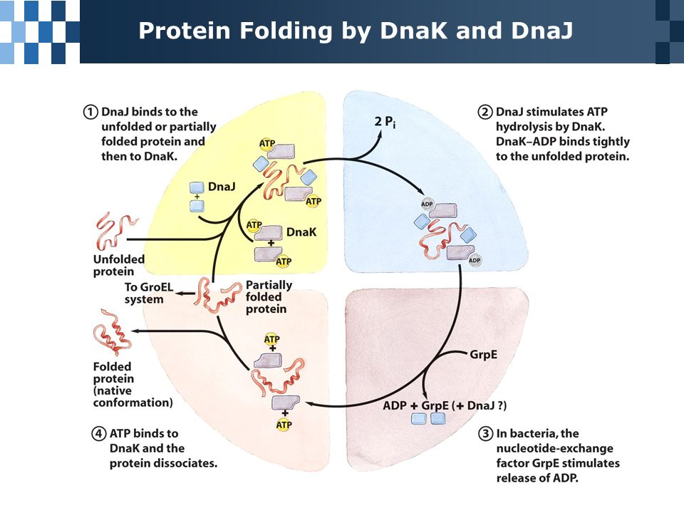 Image result for dnak protein