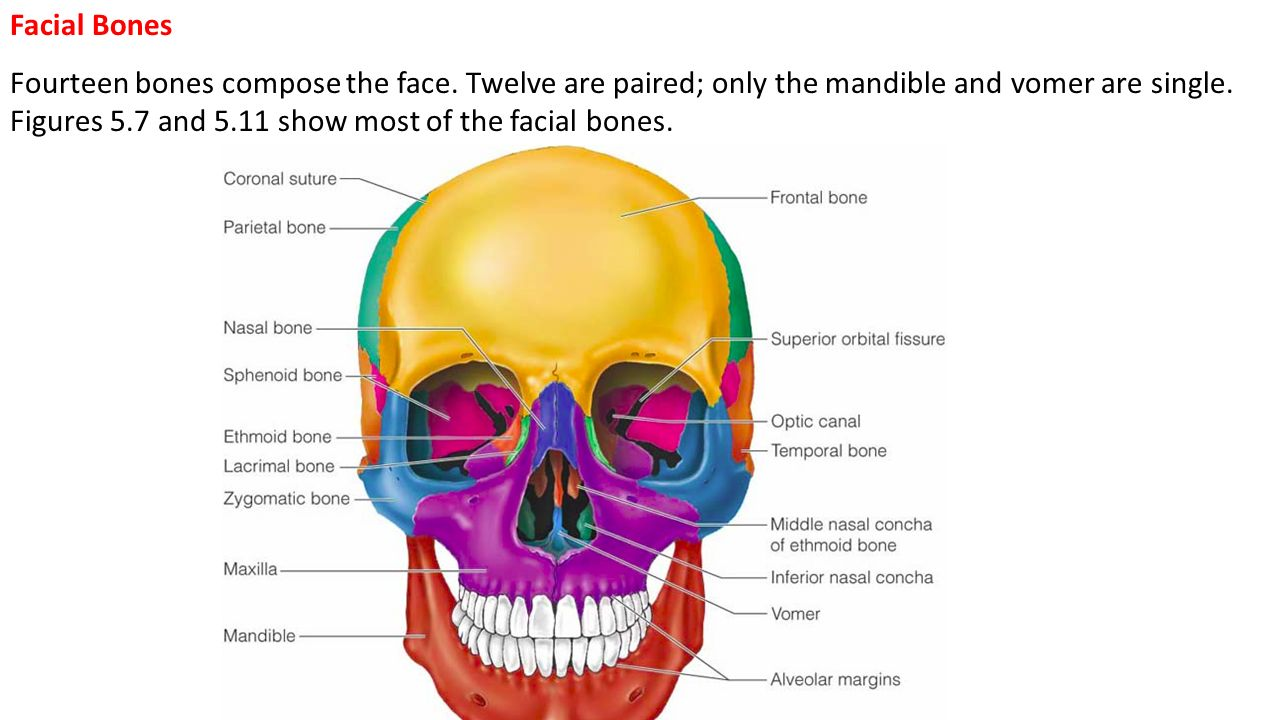 Objectives Describe How The Skull Of A Newborn Infant Or Fetus