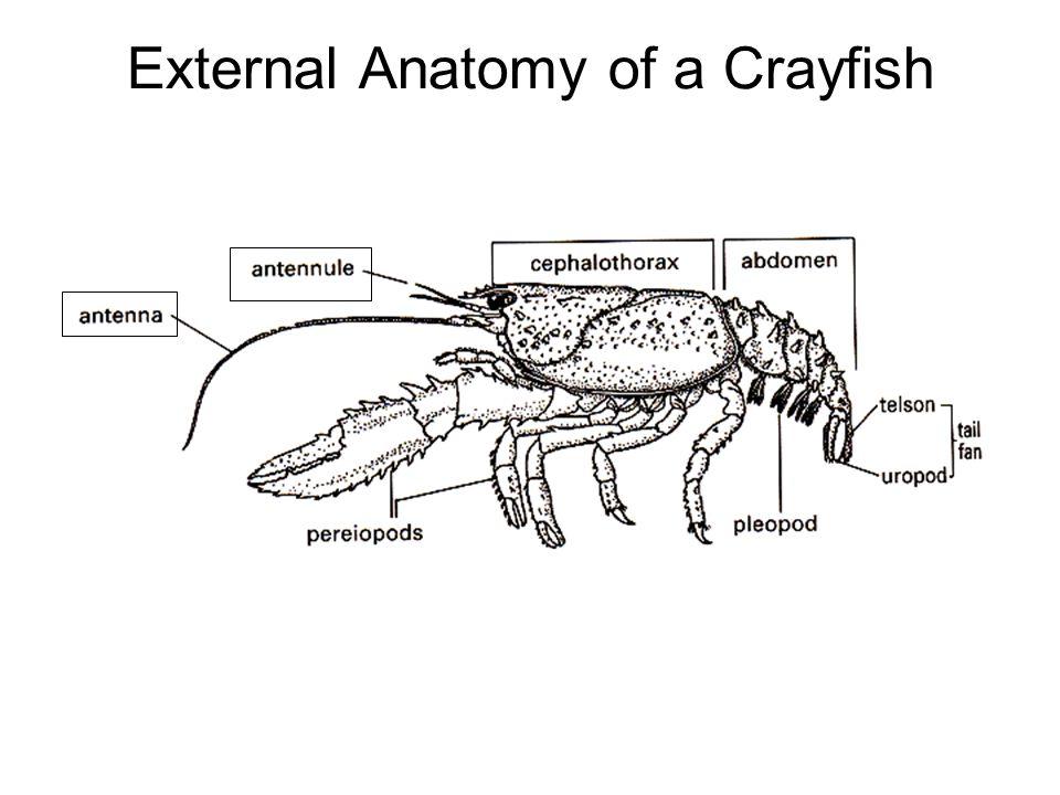 First Record Of The Australian Redclaw Crayfish Cherax Quadricarinatus