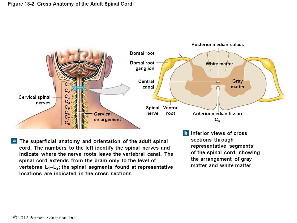 Fantastic Gross Anatomy Of Spinal Cord Component - Anatomy And ...