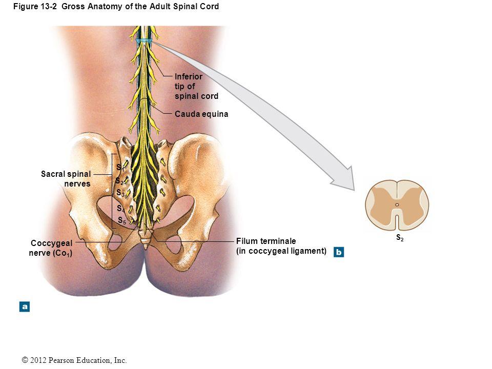 Lumbar Spine Anatomy L5 S1