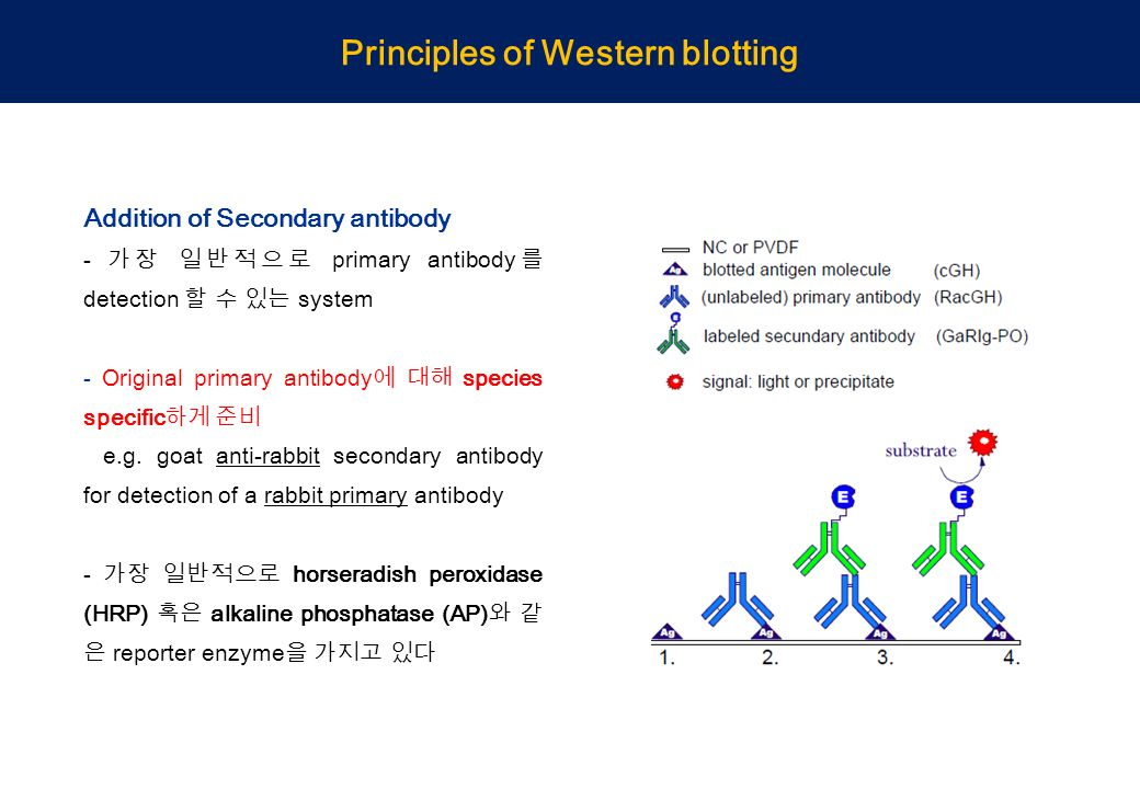 Western Blot Analysis Using His Tag Antibody Ppt Video