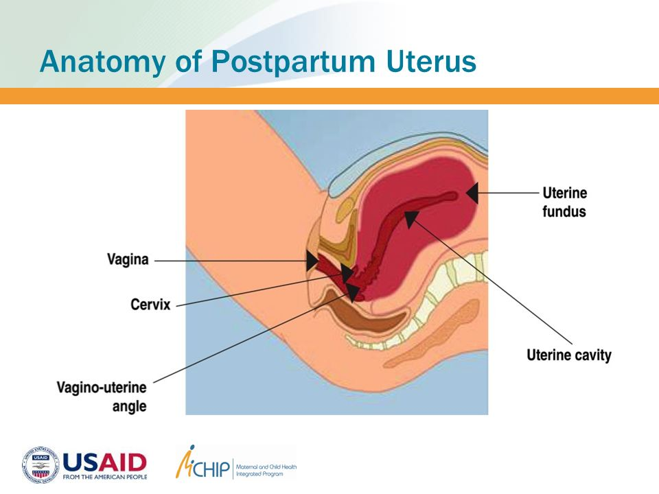Postpartum intrauterine contraceptive device ppiud ppt download anatomy of postpartum uterus ccuart Images