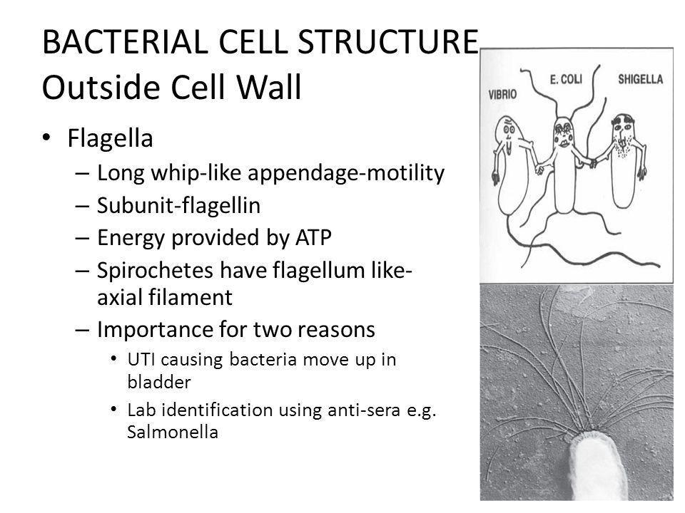 Salmonella Bacteria Cell Diagram Schematic Diagrams
