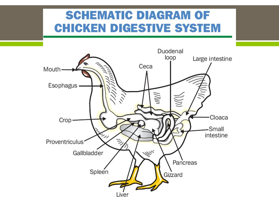 Animal digestion ppt video online download 15 types of digestive systems ccuart Gallery