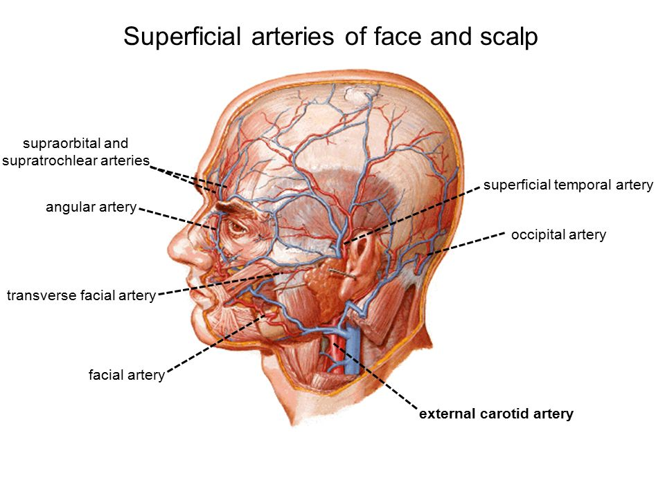 Superficial Face And Scalp Ppt Video Online Download