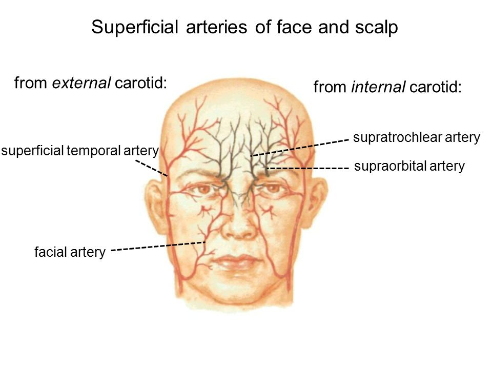 Superficial face and scalp - ppt video online download