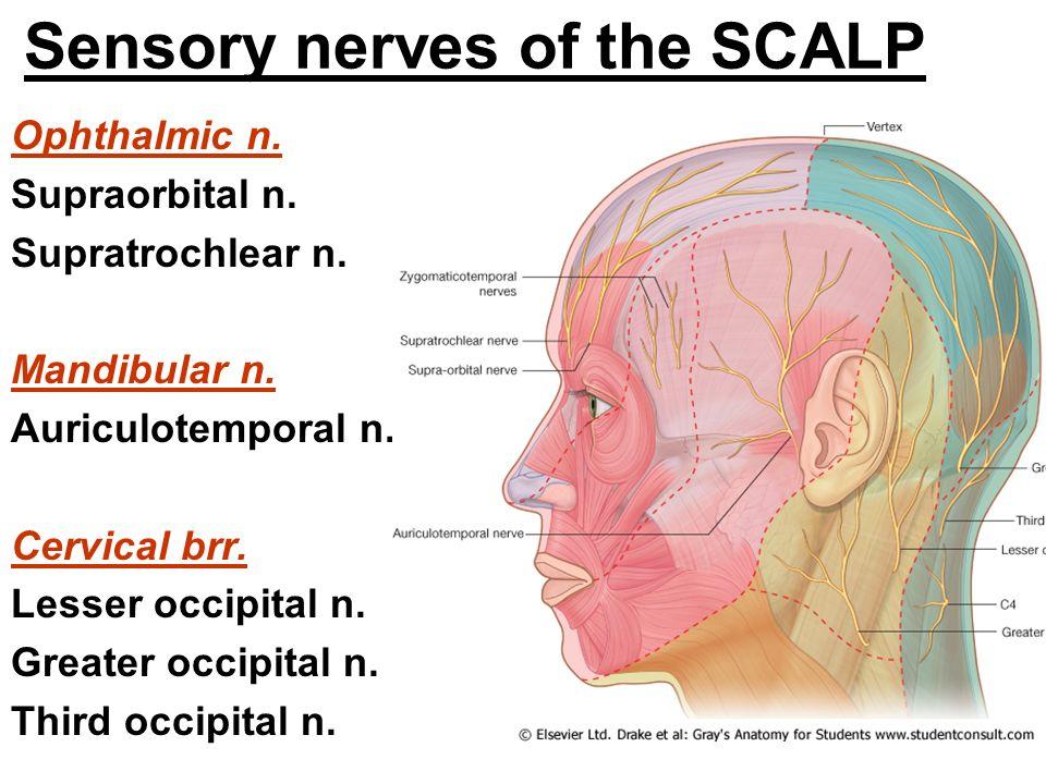 Scalp Nerves Diagram - Trusted Wiring Diagram •