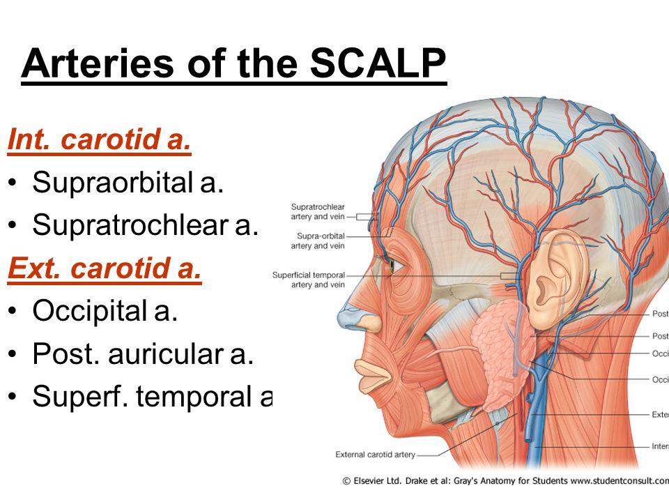 Artery Diagram Scalp Wiring Diagram