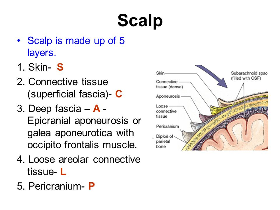 Scalp+Scalp+is+made+up+of+5+layers.+1.+Skin +S scalp ppt video online download
