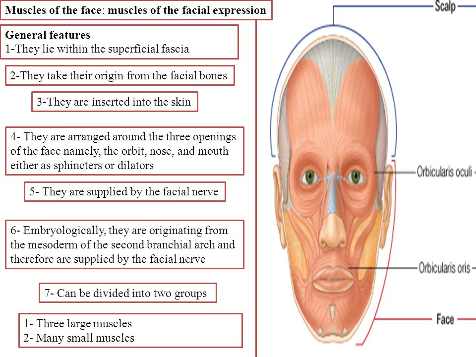 The Face 1 Skin Of The Face The Skin Of The Face Is Elastic Ppt