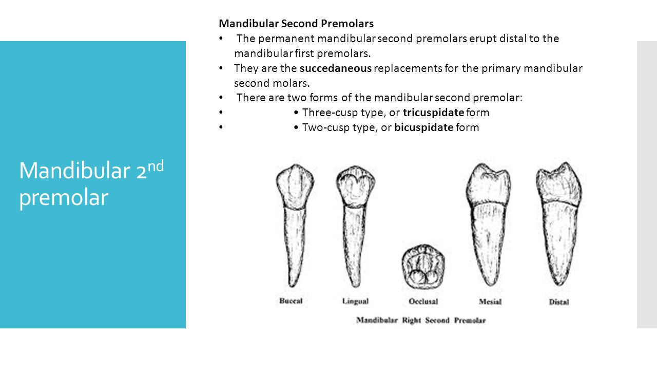 Exelent Mandibular 1st Molar Anatomy Vignette - Anatomy and ...