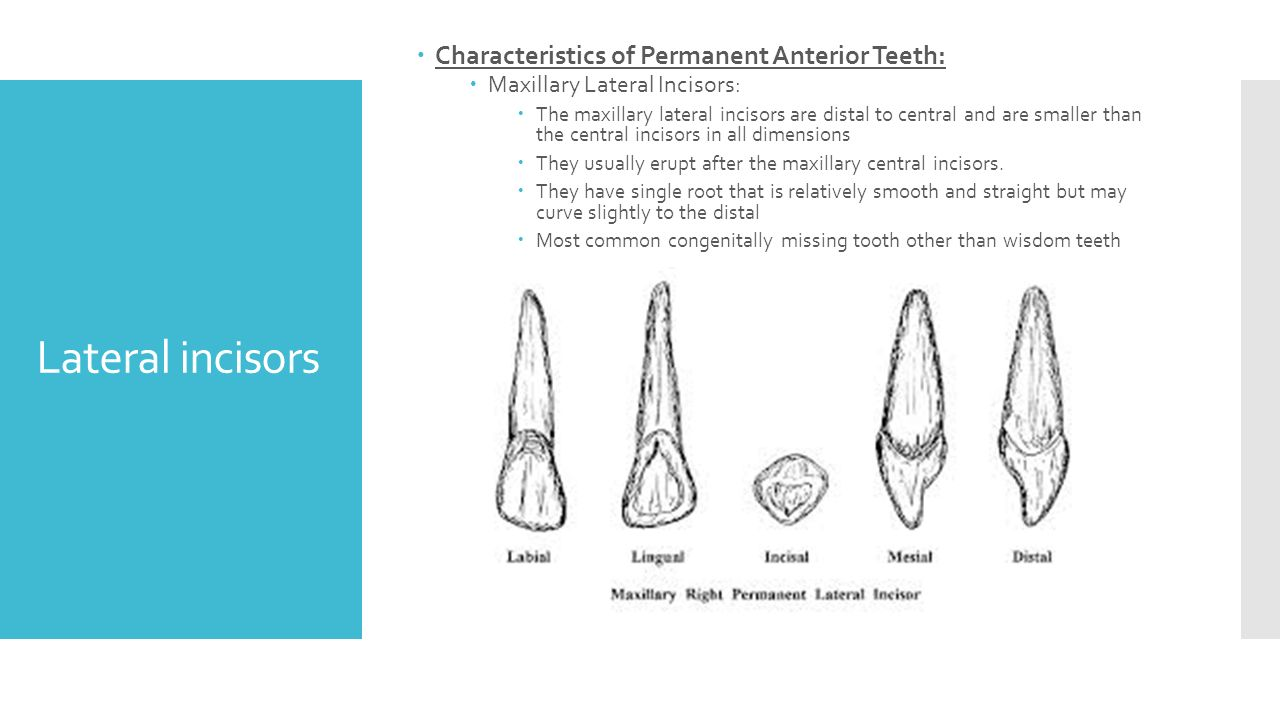 Tooth Morphology By Dr Rao Ppt Video Online Download