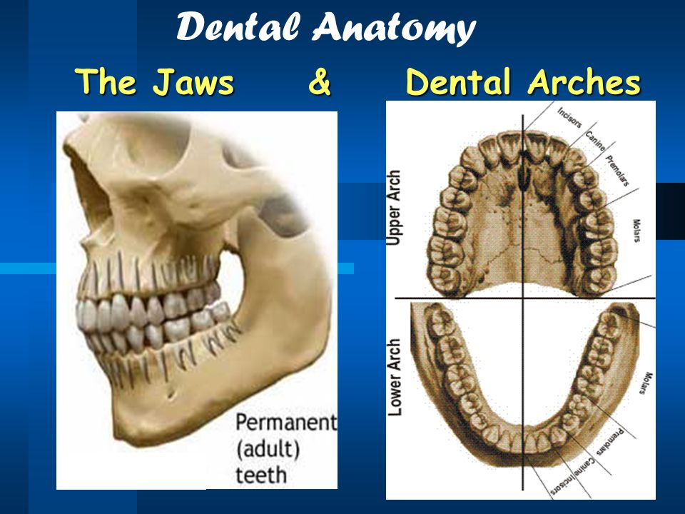 Human Dentition Introduction Dental Anatomy Includes Ppt Download