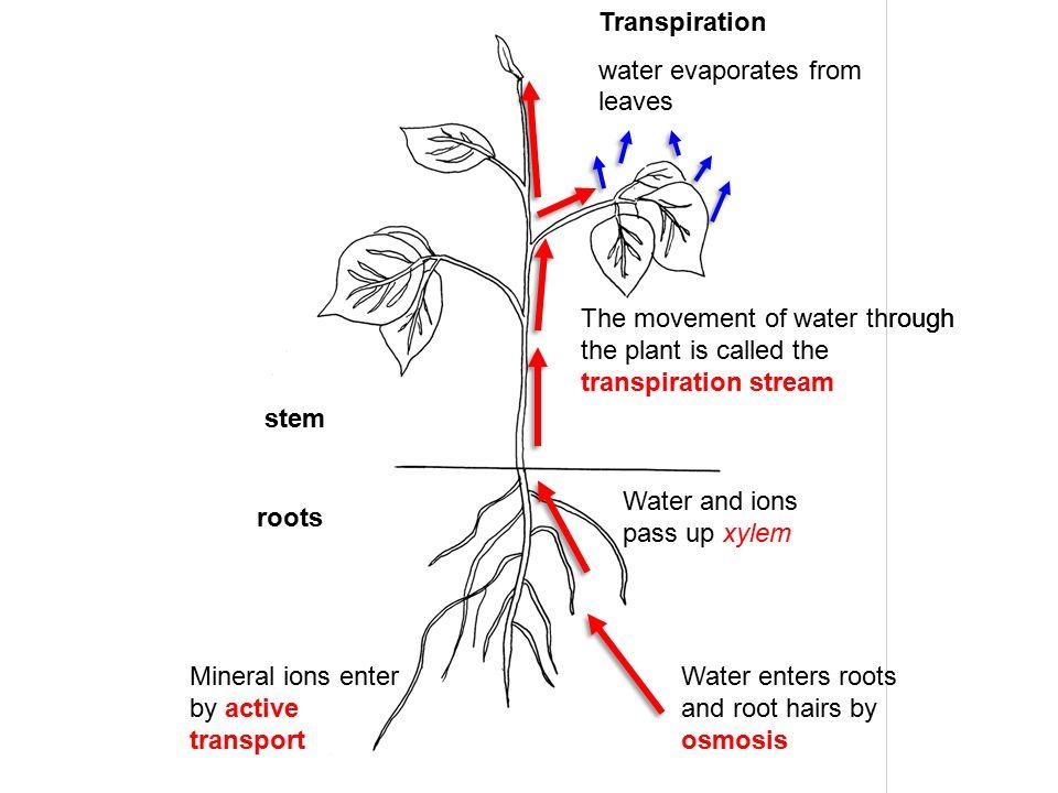 Stem plants diagram water application wiring diagram plant transport ppt download rh slideplayer com plant leaf diagram plant stem anatomy worksheet ccuart Choice Image