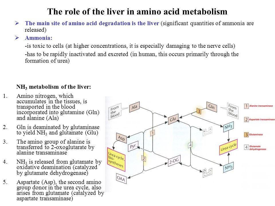 Biochemistry Of Liver Alice Skoumalov Ppt Video Online Download