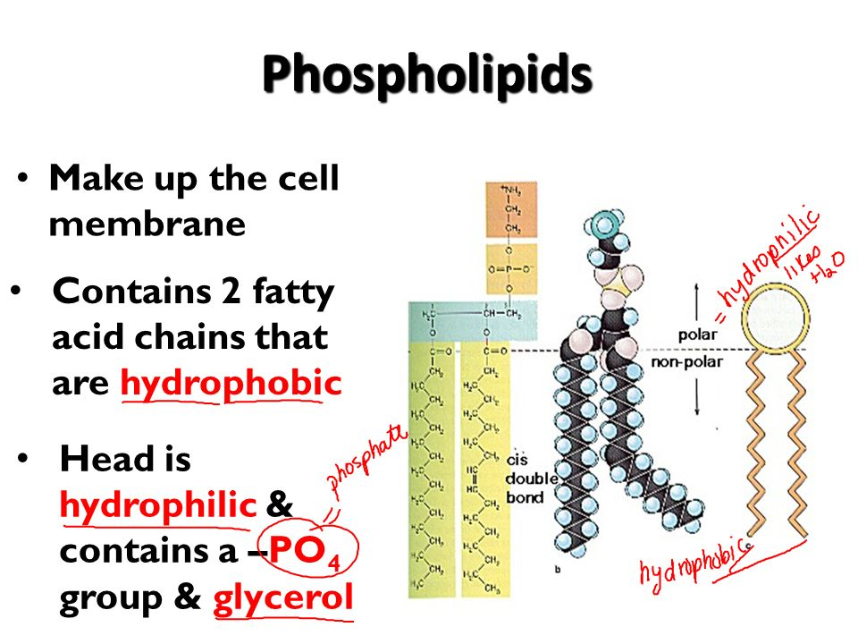 functions of cell plasma membrane ppt video online