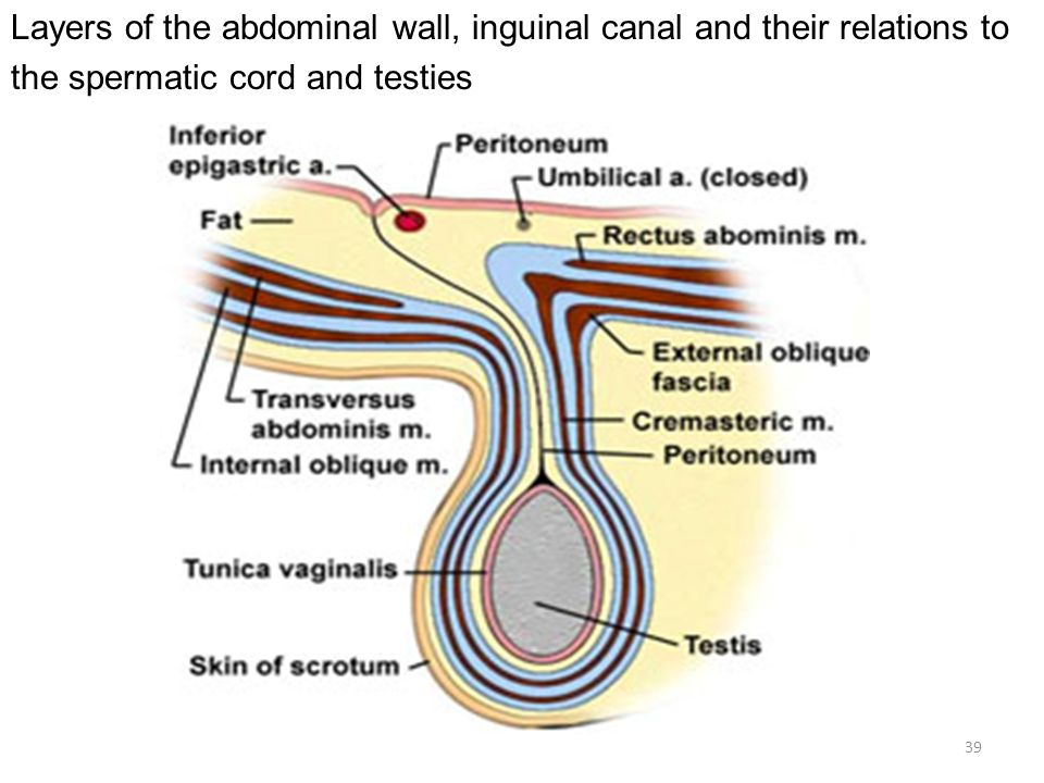 39 layers of the abdominal wall