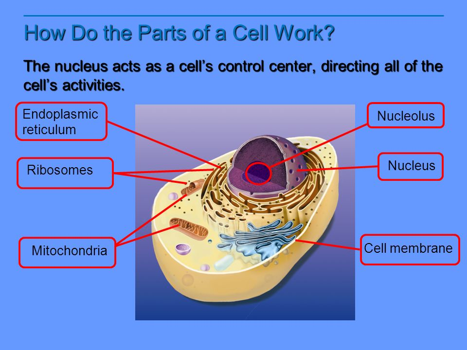 Notes 12 Looking Inside Cells Ppt Video Online Download