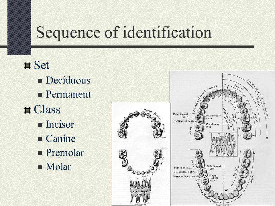 Dental Anatomy Occlusion Dent Ppt Video Online Download