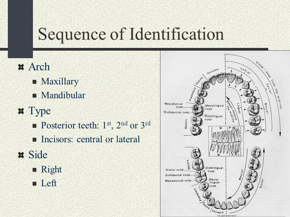 Tooth Identification Dental Anatomy Image collections - human body ...