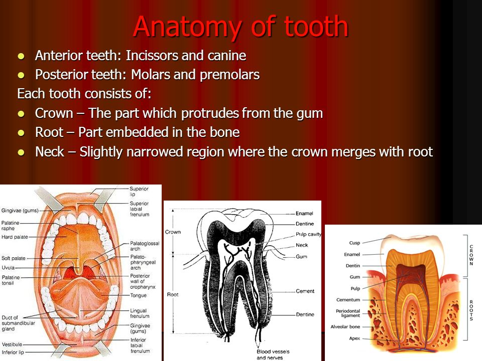 DENTAL ANATOMY BY DR. MANISHA MISHRA. - ppt video online download