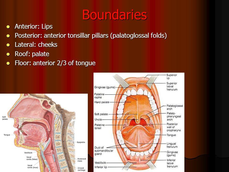 Awesome Tonsillar Pillar Anatomy Ensign - Anatomy And Physiology ...