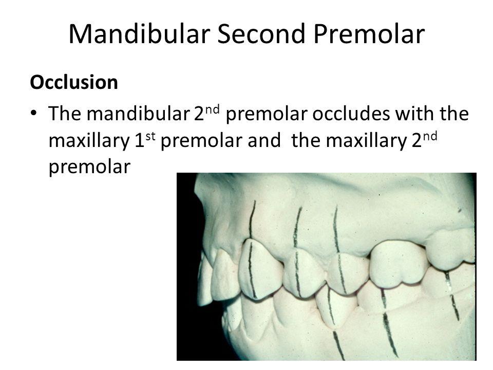 Mandibular Premolars Dental Health Proper Tooth Contours = - ppt ...