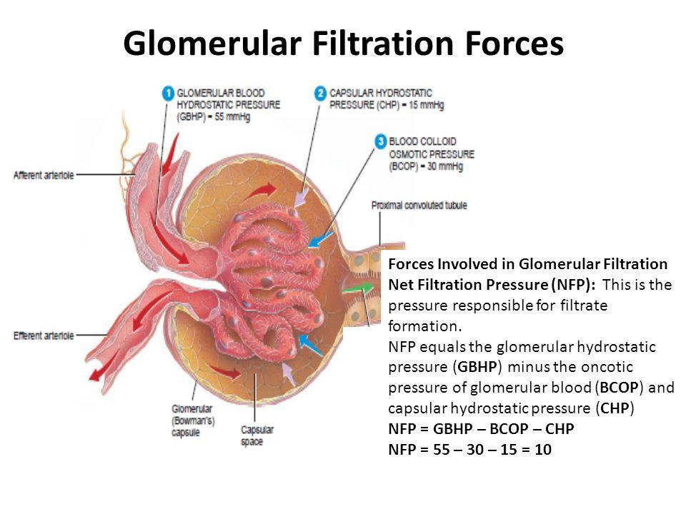 Glomerular Filtration and Regulation of Glomerular Filtration Rate ...