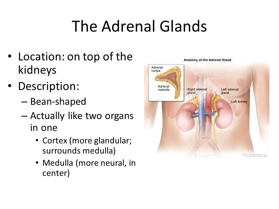 Adrenals Pancreas Gonads Other Tissues Ppt Download