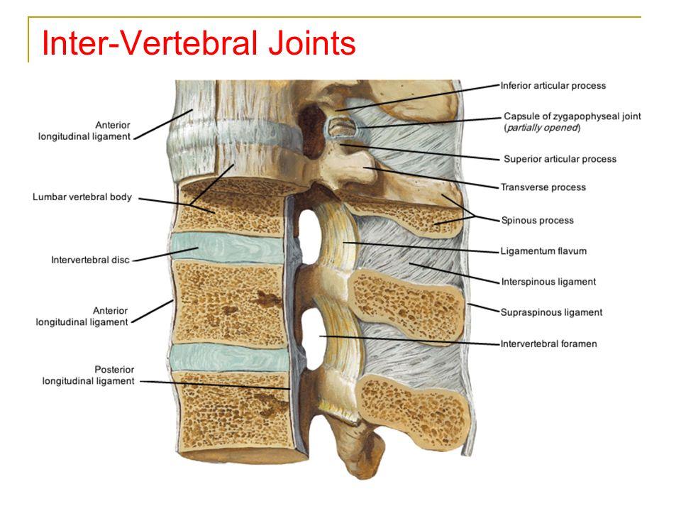 vertebral column 33 vertebrae intervertebral disc ppt