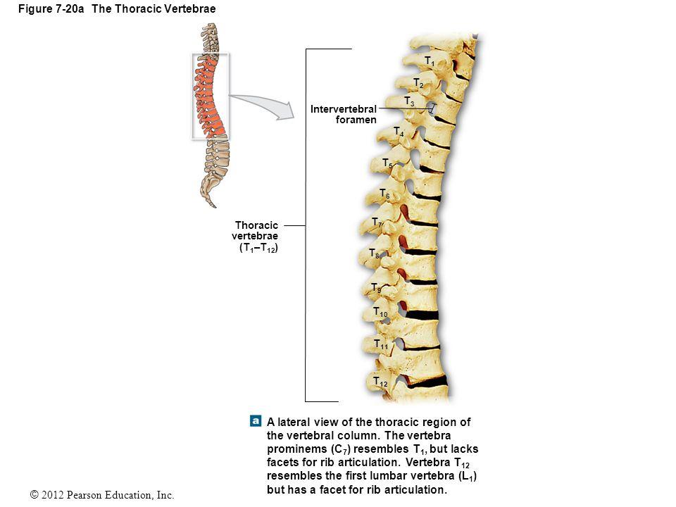 7 6 The Vertebral Column The Vertebral Column Spine Ppt Video