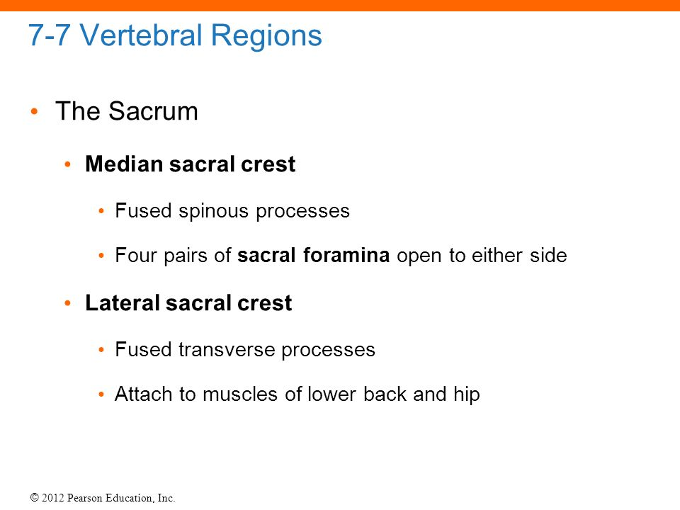 7 6 The Vertebral Column The Vertebral Column Spine Ppt Video