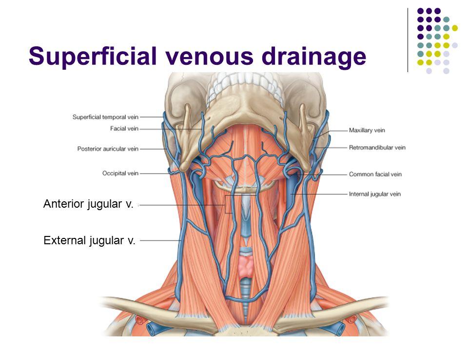 External Jugular Anatomy Images - human body anatomy