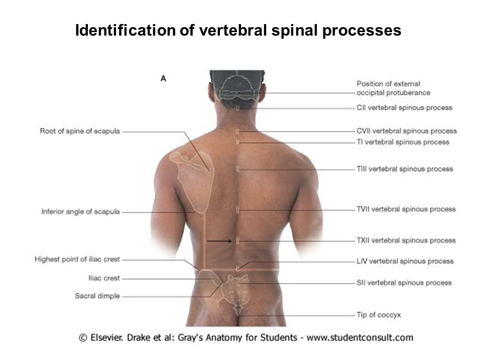 Regional Anatomy Of The Back Ppt Video Online Download
