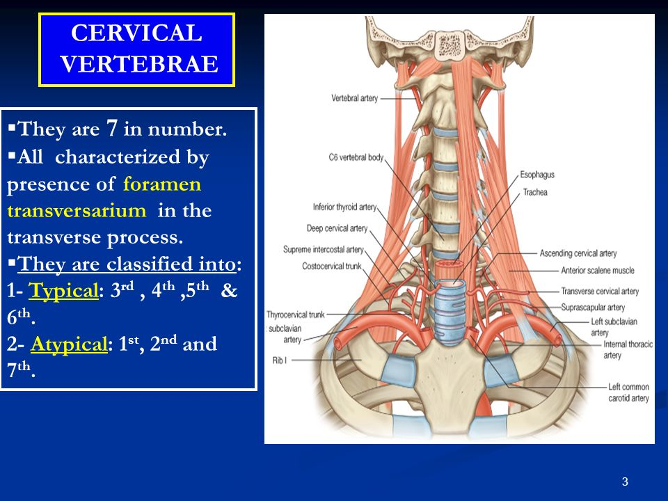 Cervical Spine Department Of Anatomy Drnaa Al Shaarawy Ppt