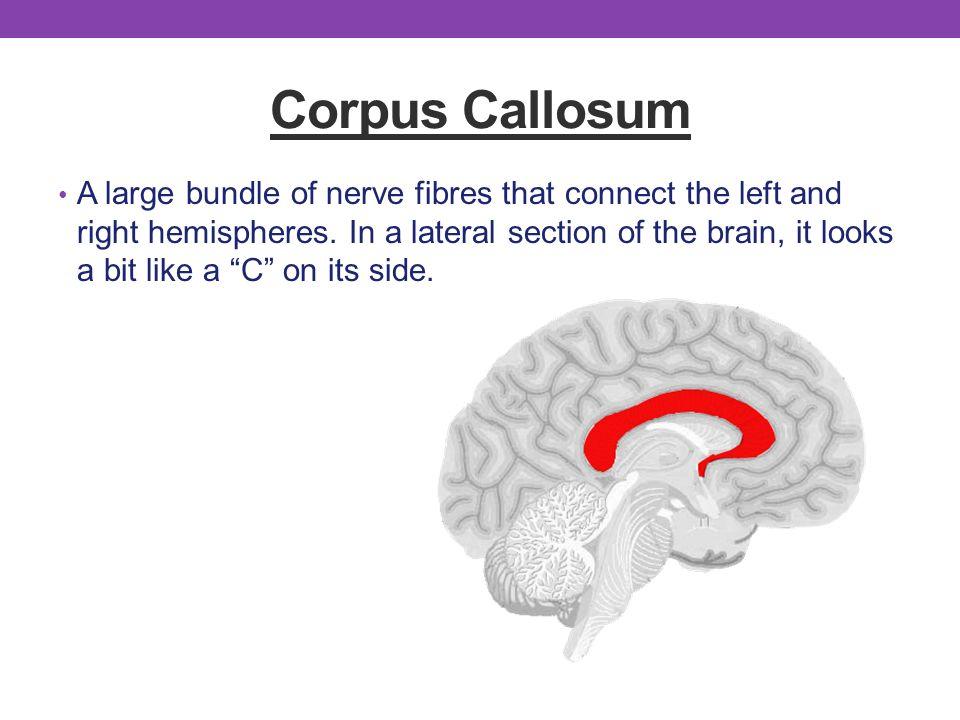 Fine Anatomy Corpus Callosum Gallery - Anatomy And Physiology ...